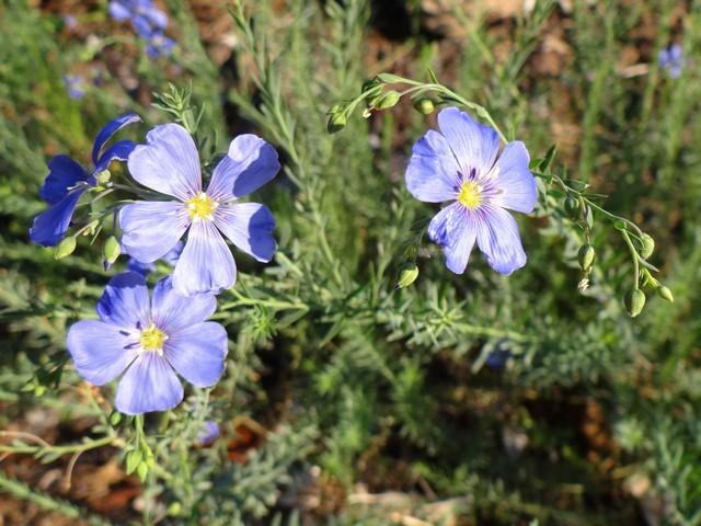Linum lewisii (blue flax)
