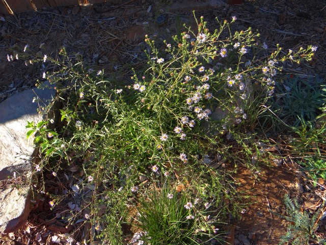 Symphyotrichum chilense (California aster)