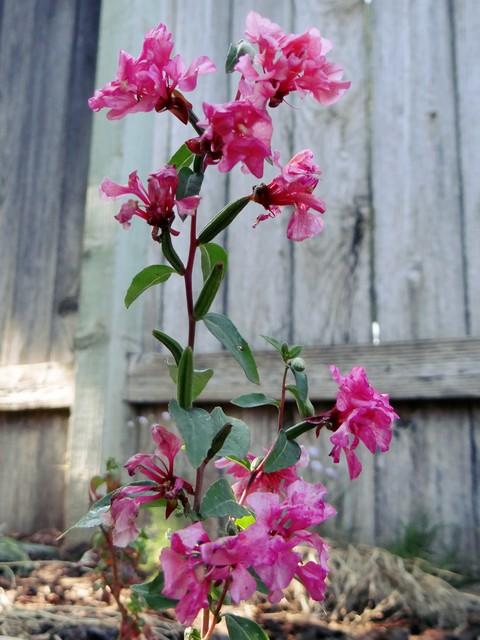 Clarkia unguiculata (mountain garland)