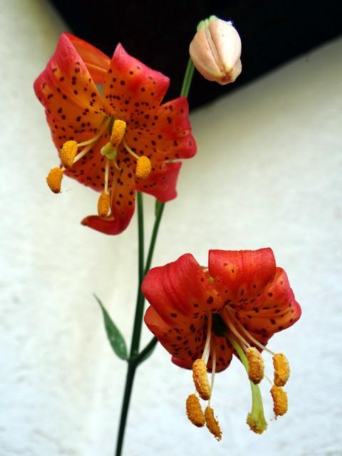 Lilium pardalinum (leopard lily)