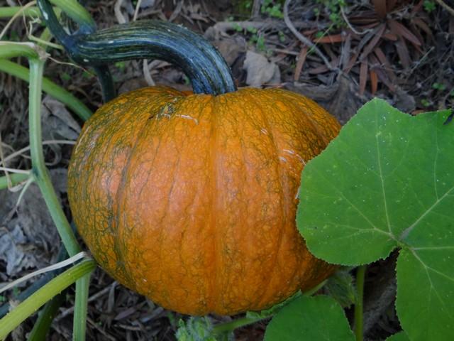 Cucurbita pepo 'New England Pie' (pumpkin)