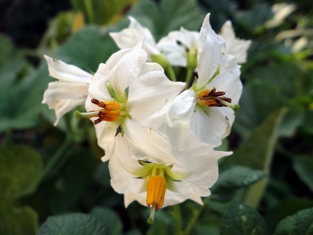 Solanum tuberosum 'Yukon Gold' (potato)