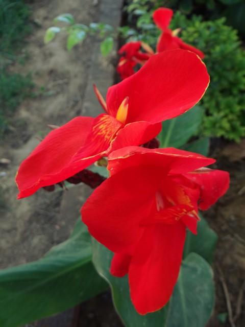 Canna indica (canna lily)