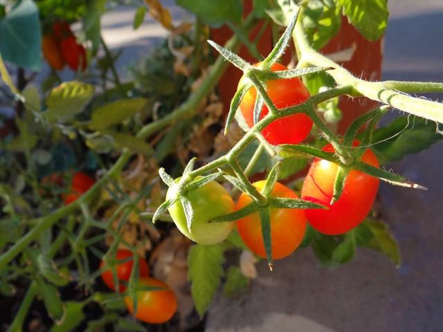Lycopersicon esculentum 'Juliet' (tomato)
