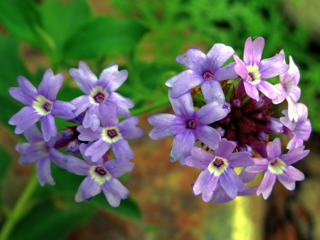Verbena lilacina 'De La Mina' (Cedros Island vervain)
