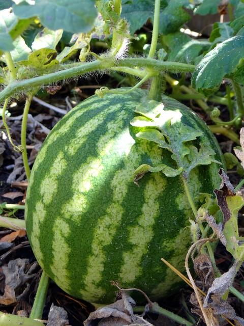 Citrullus lanatus 'Klondike R7' (watermelon)