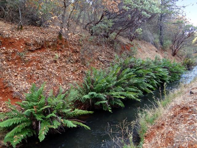 Woodwardia fimbriata (giant chain fern)