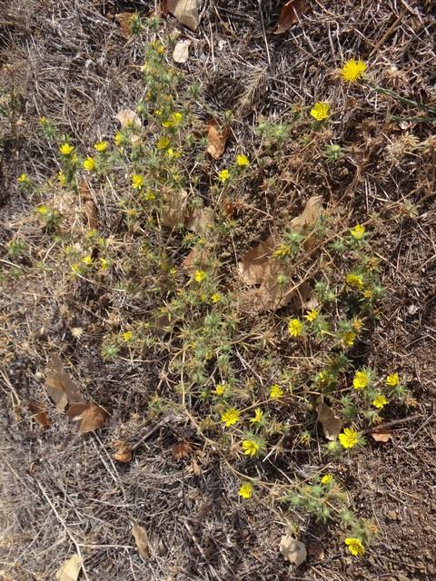 hareleaf (Lagophylla sp.)
