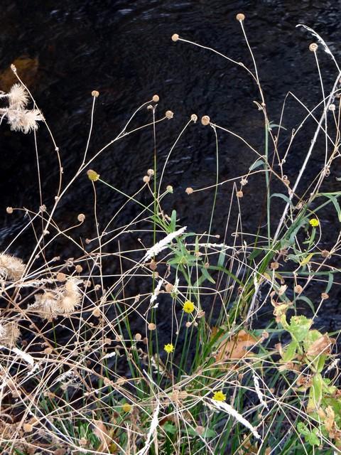 Helenium puberulum (rosilla)