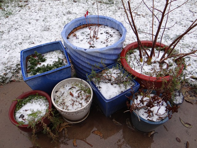 snow in the plant pots!