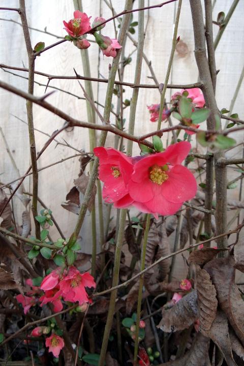 unidentified pink-flowering shrub