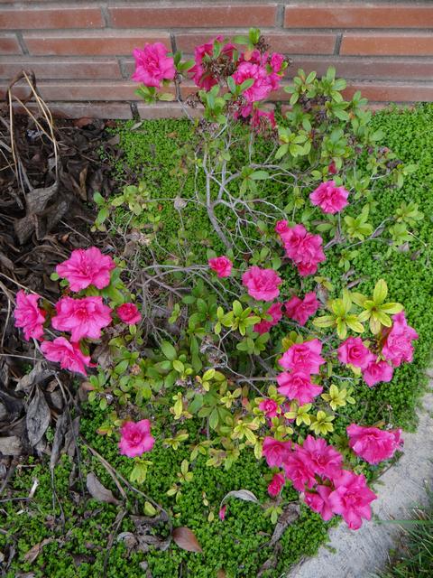 Rhododendron × pulchrum (azalea)