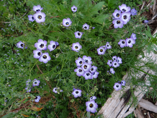 Gilia tricolor (bird's eye gilyflower)