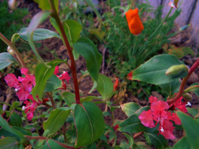 Clarkia elegans (mountain garland) and Eschscholzia californica (California poppy)