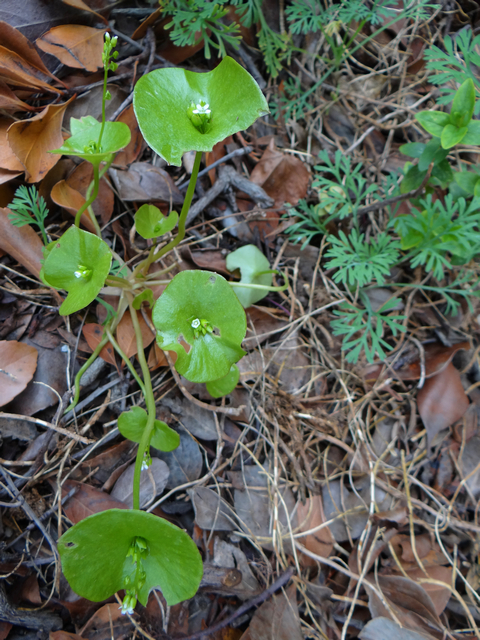Claytonia perfoliata (miners' lettuce)