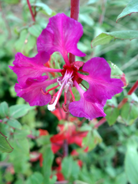 Clarkia elegans (mountain garland)