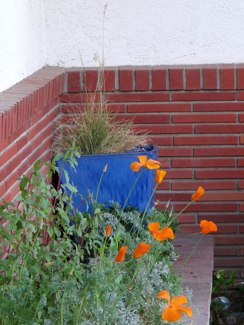 Eschscholzia californica (California poppy) and Melinus nerviglumis (ruby grass)