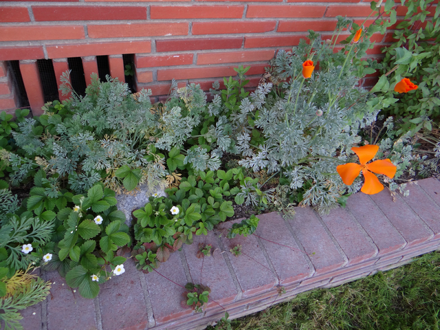 Fragaria vesca (woodland strawberry) and Eschscholzia californica (California poppy)