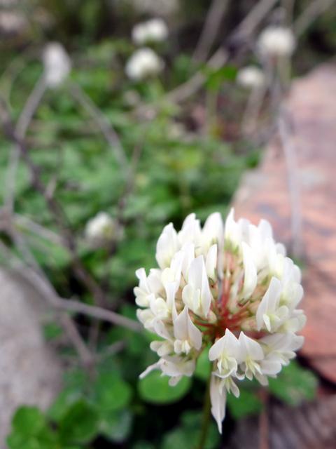 Trifolium repens (white clover)