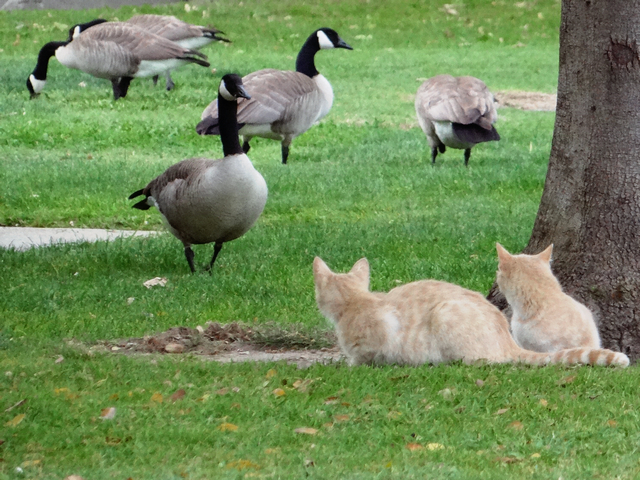 cats and geese