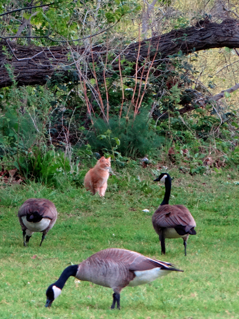 cat and geese