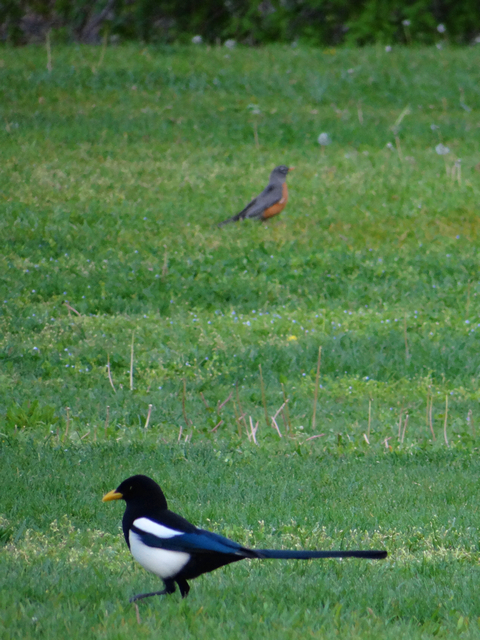 yellow-billed magpie and American robin