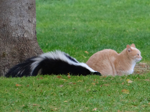 cat and skunk