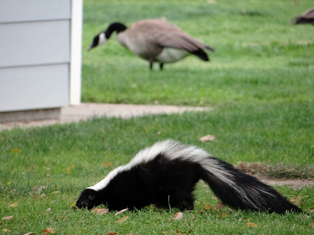 skunk and goose
