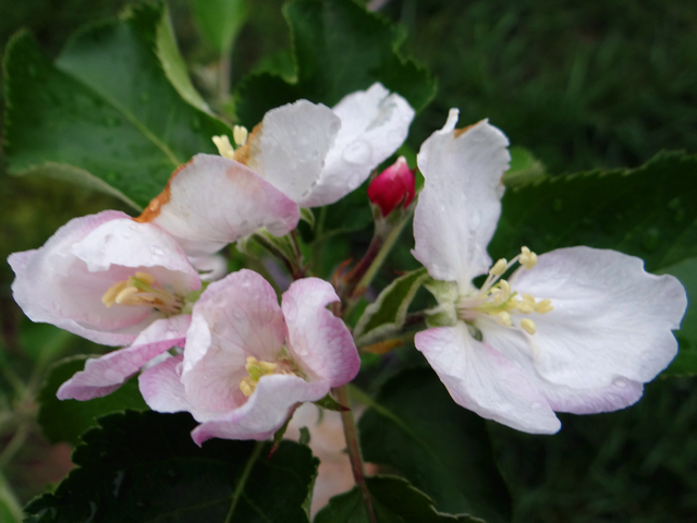 Malus domestica 'Jonagold' (apple)
