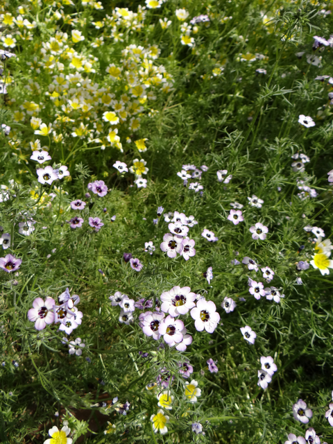 Gilia tricolor (bird's eye gilyflower) and Limnanthes douglasii (meadowfoam)