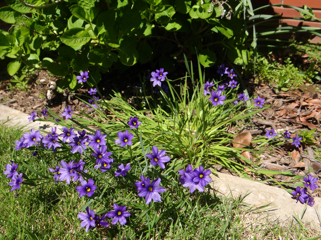 Sisyrinchium bellum 'North Coast' (blue eyed grass)