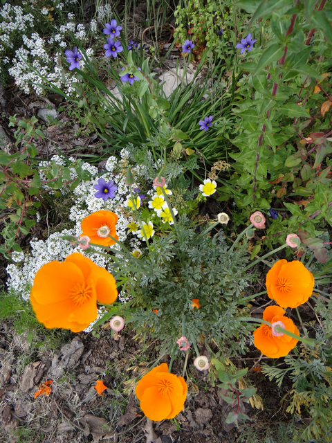Limnanthes douglasii (meadowfoam), Eschscholzia californica (California poppy), and Sisyrinchium bellum 'North Coast' (blue eyed grass)