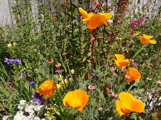 Eschscholzia californica (California poppy), Limnanthes douglasii (meadowfoam), and Sisyrinchium bellum 'North Coast' (blue eyed grass)