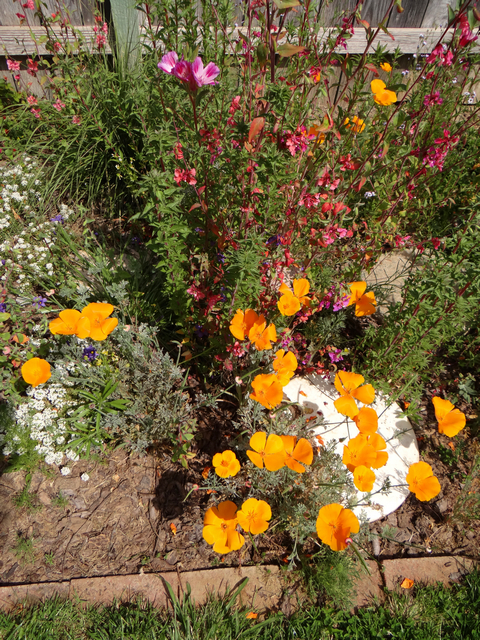 Eschscholzia californica (California poppy) and Clarkia unguiculata (mountain garland)