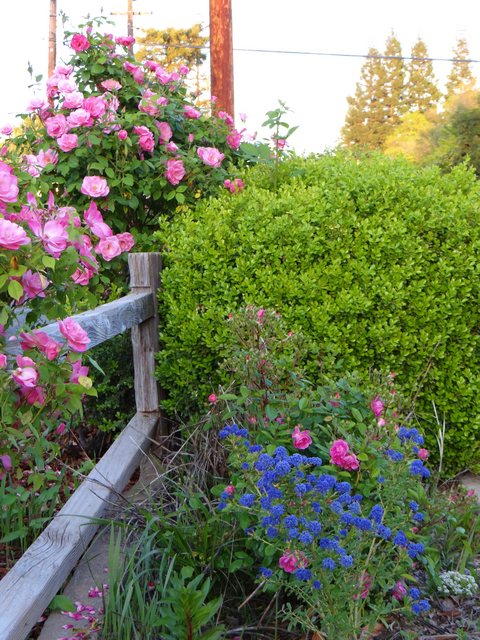Ceanothus 'Concha' (California lilac) and roses