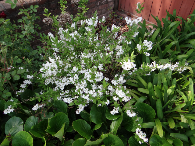 unidentified white-flowering shrub