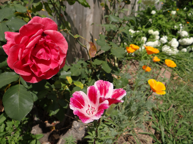 Clarkia amoena (farewell-to-spring) with California poppies, oakleaf hydrangea, and rose