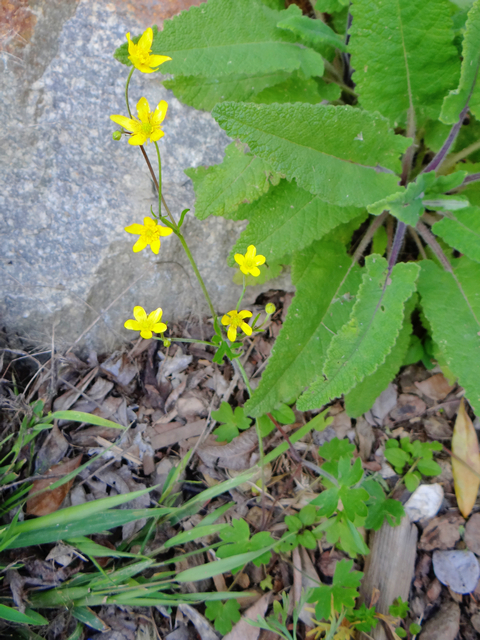 Ranunculus occidentalis (Western buttercup)