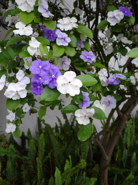 Brunfelsia (yesterday, today, and tomorrow)