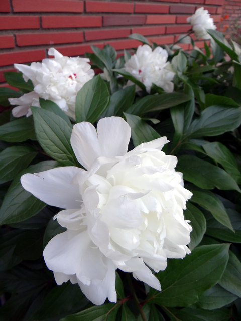 Paeonia lactiflora (Chinese peony)