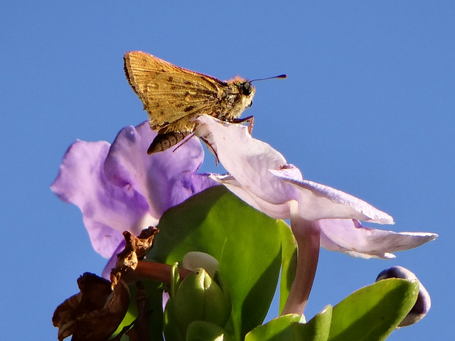Hylephila phyleus (fiery skipper)