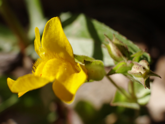 Mimulus guttatus (seep monkeyflower)
