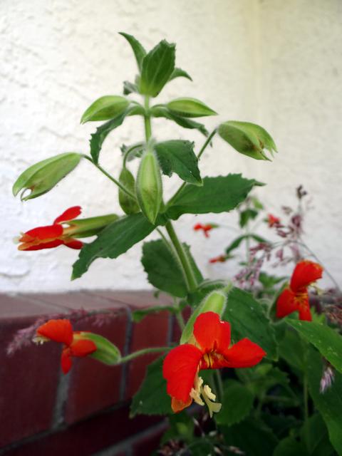 Mimulus cardinalis (scarlet monkeyflower)