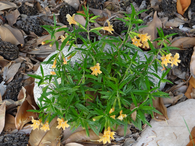 Mimulus aurantiacus (sticky monkeyflower)