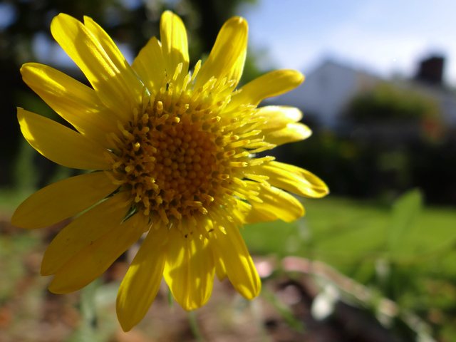 Grindelia camporum (Great Valley gumplant)