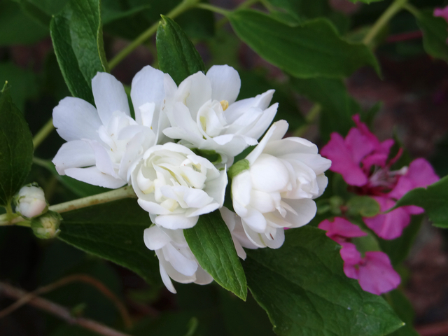 Philadelphus lewisii 'Goose Creek' (doubleflower mock orange)
