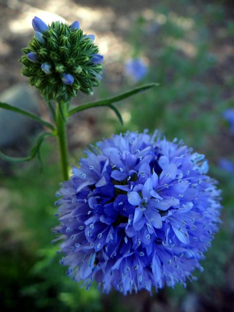 Gilia capitata (blue globe gilyflower)