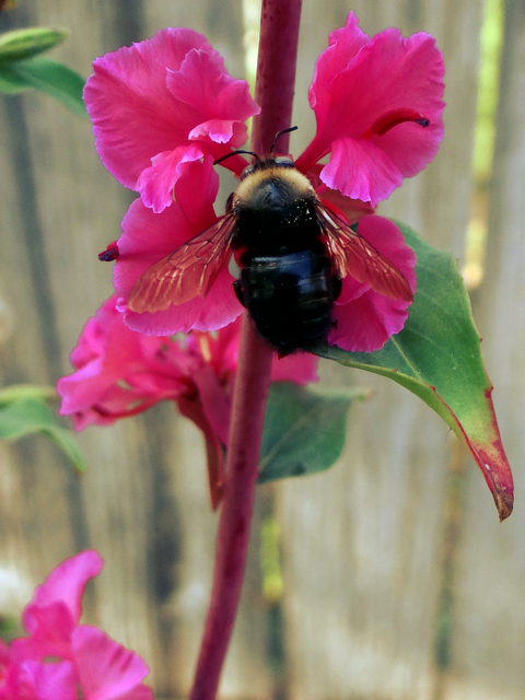 Xylocopa tabaniformis (foothill carpenter bee)