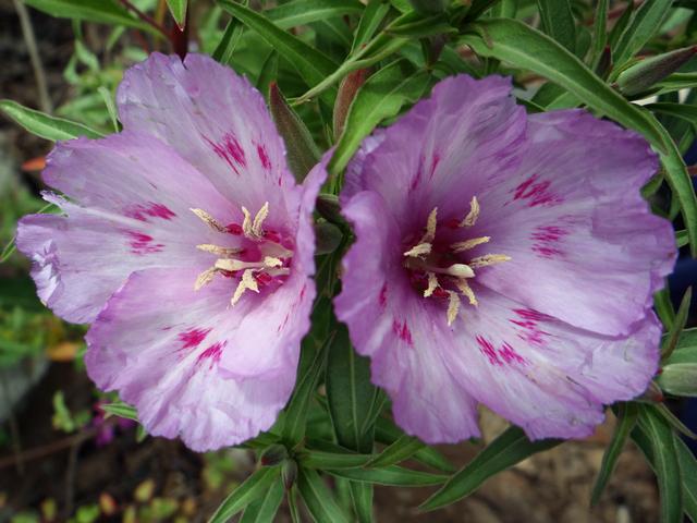 Clarkia amoena (farewell-to-spring)