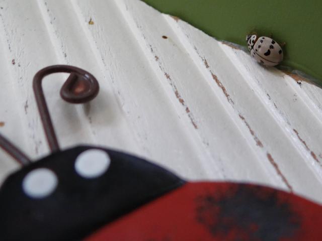 Olla v-nigrum (ashy gray ladybug)